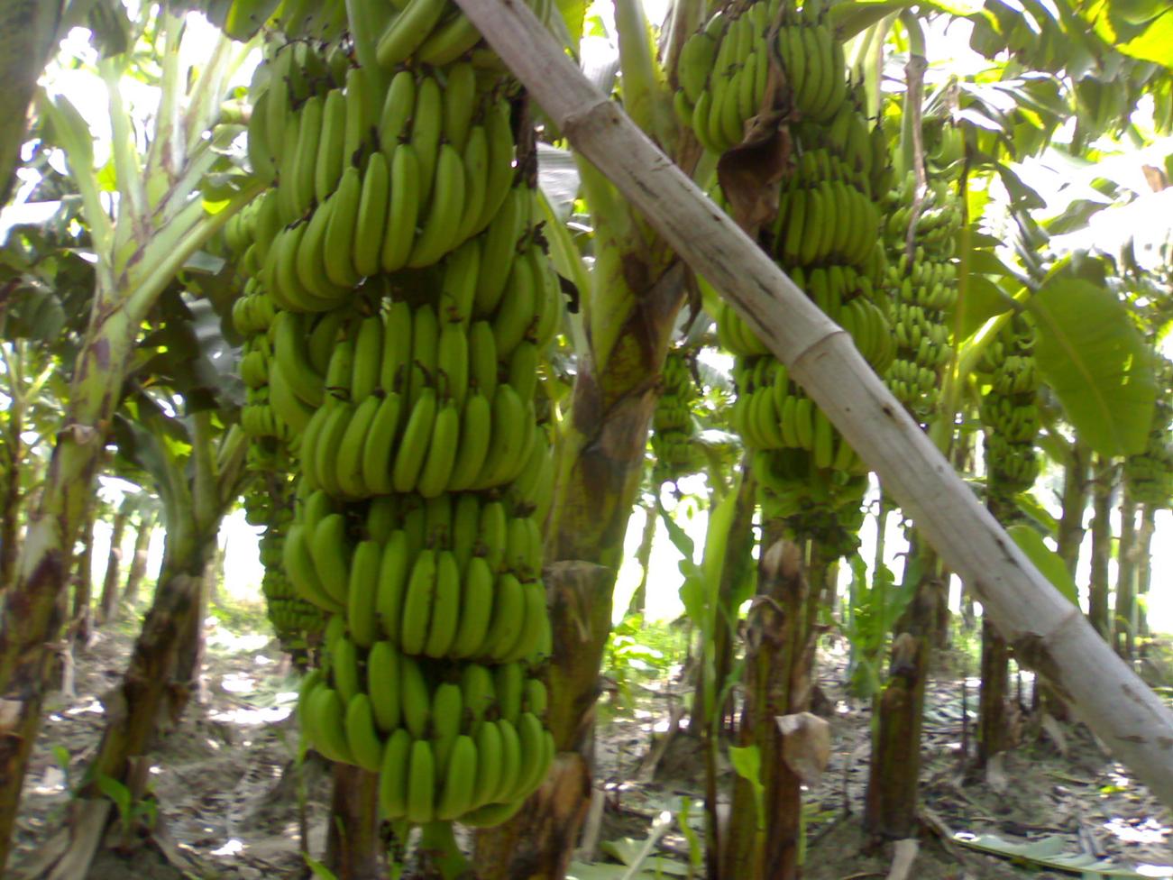 Bananeti in Costa Rica