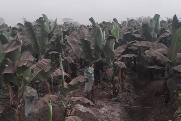 coltivazioni-di-banane